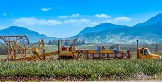 Harvesting Pineapple Stock Image