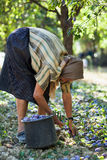 Harvesting plums Stock Photos