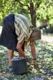 Harvesting plums Stock Photos
