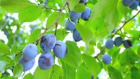 Harvesting plums.