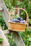 Harvesting of plums Stock Photo