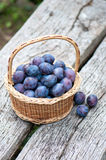 Harvesting of plums Stock Images