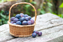 Harvesting of plums Stock Photography