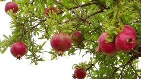Harvesting pomegranates Royalty Free Stock Photo