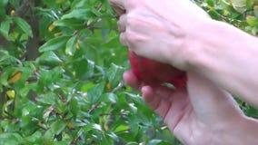 Harvesting pomegranates Stock Photography