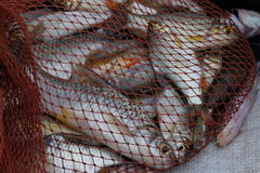 Harvesting pond, fish in net Stock Photography