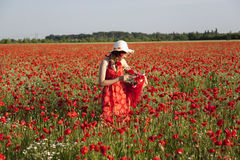 Harvesting poppy. Young woman harvesting poppy in a poppy field Royalty Free Stock Image