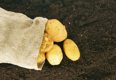 Harvesting. A potato in a bag on earth. Stock Images