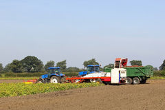 Harvesting potatoes. Two tractors and potato harvester in a field under a blue sky Stock Images