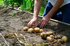 Harvesting Potatoes Royalty Free Stock Photos