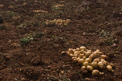 Harvesting potatoes. A picture of a farm soil with a pile of potatoes in one corner by keeping the enough Copy-Space Stock Image