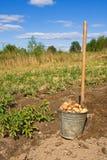 Harvesting Potatoes Stock Images