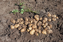 Harvesting Potatoes Royalty Free Stock Image