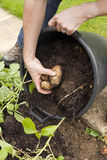 Harvesting Potatoes Stock Photography
