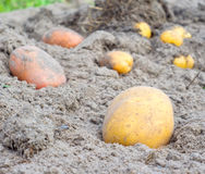 Harvesting potatoes. In the autumn time royalty free stock photography