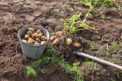 Harvesting potatoes Stock Photo