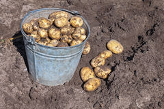 Harvesting potatoes Stock Image