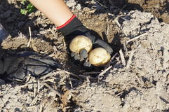 Harvesting Potatoes. A child is harvesting potatoes Royalty Free Stock Photo