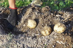 Harvesting Potatoes. A child is harvesting potatoes Stock Photos