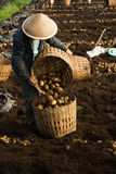 Harvesting potatoes. Farmer cultivate potatoes from thee farm at daylight royalty free stock photo