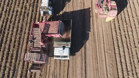 Harvesting potatoes in field. Aerial potatoes are dug bycombine and gently lifted up and placed in truck. potatoes harvesting machine with tractor in farm land stock video footage