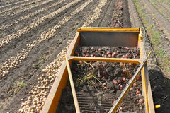 Harvesting potatoes. On field with machinery Stock Images