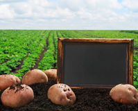 Harvesting potatoes on the ground Stock Images