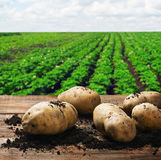 Harvesting potatoes on the ground. On a background of field Royalty Free Stock Image