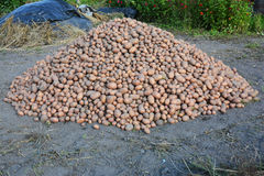 Harvesting Potatoes. Harvesting and Storing Potatoes. Harvesting and Storing Potatoes Harvest Stock Images