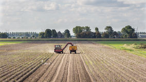 Harvesting potatoes. From the land with a harvester Stock Photo