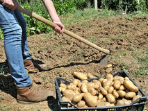 Harvesting potatoes Stock Photography
