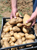Harvesting potatoes Royalty Free Stock Photography