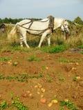 Harvesting potatoes Stock Photos