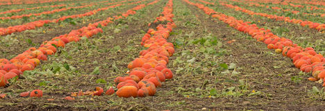 Harvesting Pumpkins Royalty Free Stock Photos