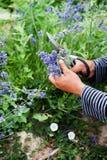 Harvesting purple lavender flowers by hand. stock photos