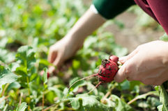 Harvesting radishes Royalty Free Stock Image