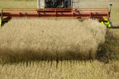 Harvesting rape seed. Harvesting a field of ripened rape seed Stock Photography
