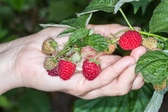 Harvesting of raspberries Stock Photo