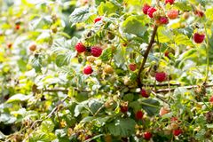 Harvesting raspberries. Red ripe berry royalty free stock photo