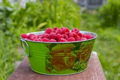 Harvesting raspberries. Red ripe berry stock photo