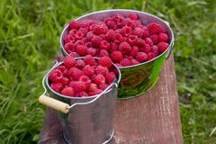 Harvesting raspberries. Red ripe berry stock images