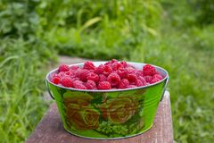 Harvesting raspberries. Red ripe berry stock image