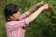 Harvesting of a red currant. The girl collects a red currant Royalty Free Stock Photography