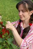 Harvesting of a red currant. The girl collects a red currant Stock Images