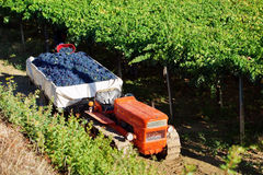 Harvesting red grapes. Montepulciano in vineyards of Abruzzo, Italy Royalty Free Stock Image