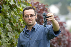 Harvesting red grapes. Young vintner is harvesting red grape in the vineyard Stock Image