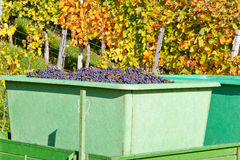Harvesting red grapes, Remstal, Germany Stock Image