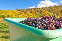 Harvesting red grapes, Remstal, Germany Royalty Free Stock Images