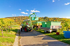 Harvesting red grapes, Remstal, Germany Stock Photo