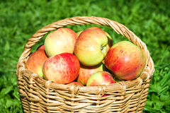 Harvesting of red juicy ripe apples Royalty Free Stock Images